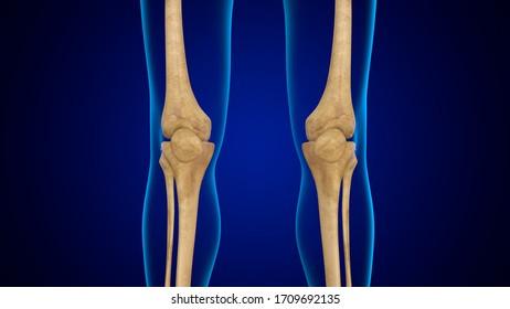 3D Illustration Human Skeleton Anatomy Bones of Patella