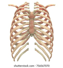 3D Illustration of Human Skeleton System Rib Cage Anatomy (Posterior View)
