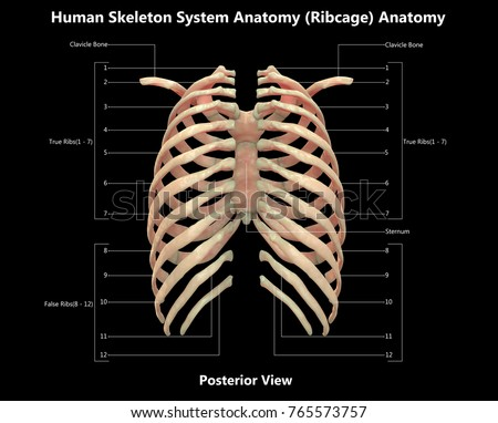 3 D Illustration Human Skeleton System Rib Stock Illustration