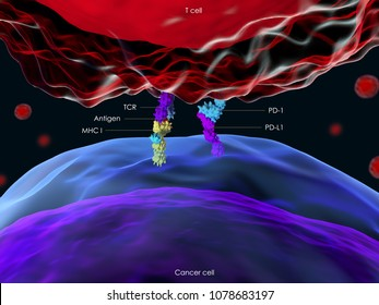 3d illustration of the interaction between a T cell and a cancer cell through the Programmed cell death protein 1 (PD-1)
