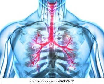 3D illustration of Larynx Trachea Bronchi Part of Respiratory System.