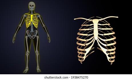 3d illustration of male human skeleton anatomy system