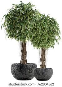 3d illustration of a ornamental tree Ficus Alii
