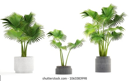 3d illustration of palm in pots on a white background