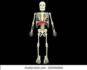3d illustration Realistic human liver with skelton