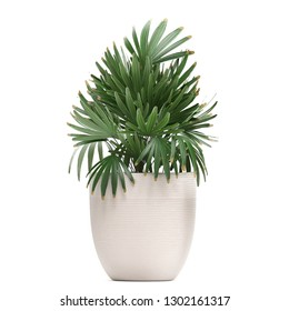 3d illustration of Rhapis palms in a pot on a white background