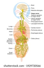 The 3D illustration showing brain and active vagus nerve (tenth cranial nerve or CN X) with human organs