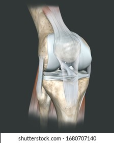 3D illustration showing human knee joint with femur, articular cartilage, meniscus, medial collateral ligament, articular cartilage, patella, kneecap, fibula, tibia, quadriceps tendon, patellar tendon
