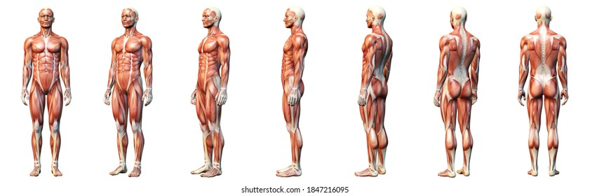 3D illustration showing muscles of a man
