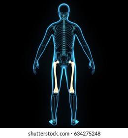 3d illustration of skeleton bones anatomy parts