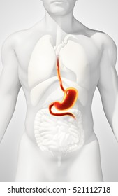 3D illustration of Stomach, Part of Digestive System.