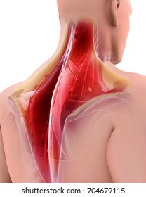 3D illustration of Trapezius, Part of Muscle Anatomy.