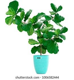 3d illustration of tropical plants Ficus Lyrata