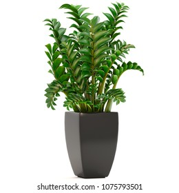 3D illustration Zamioculcas on white background
