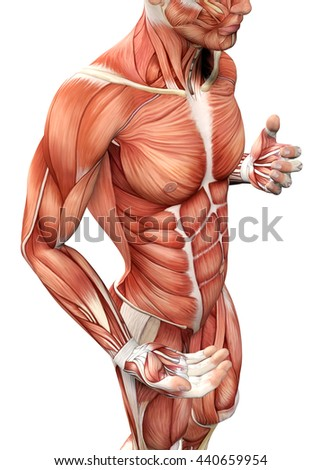 3 D Male Anatomy Showing Torso Stock Illustration 440659954 ...