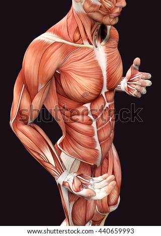 Royalty Free Stock Illustration of 3 D Male Anatomy Showing Torso ...