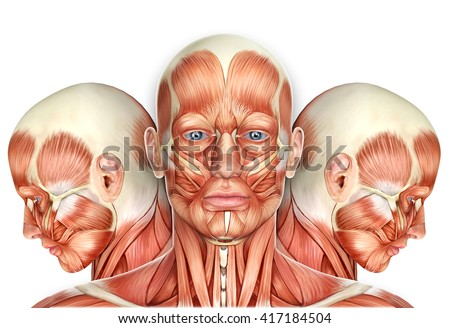 3 D Male Face Muscles Anatomy Side Stock Illustration 417184504 ...