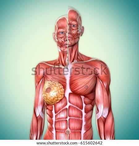 3 D Male Female Torso Anatomy Together Stock Illustration 615602642