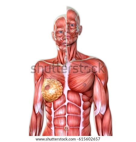 3 D Male Female Torso Anatomy Together Stock Illustration - Royalty ...