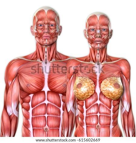 3 D Male Female Torso Anatomy Together Stock Illustration 615602669