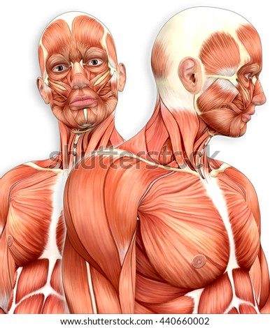 3 D Male Muscle Anatomy Side View Stock Illustration 440660002