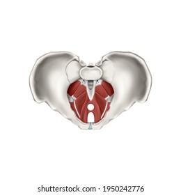 3d Medical illustration for explanation pelvic floor muscles