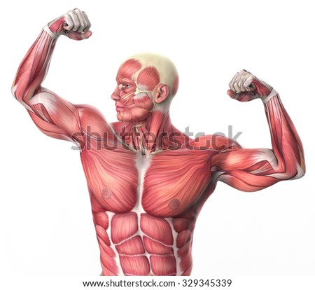 Royalty Free Stock Illustration of 3 D Muscular Anatomy Bodybuilder ...