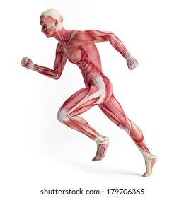 3d muscular system of running man