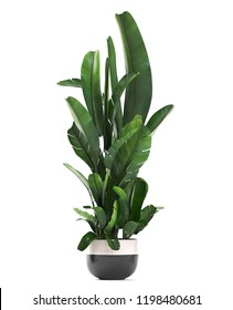 3D render of a Banana palm in a pot on a white background