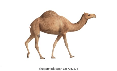 3d render camel walking on white background