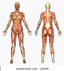3D render depicting human anatomy - muscles - female