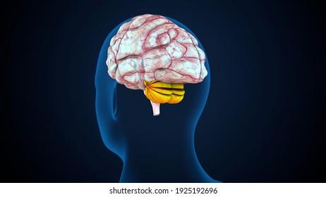 3d render of human body brain anatomy system