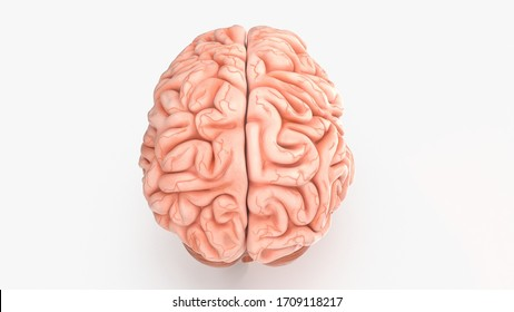 3d render of human brain isolated on white background, brain human anatomy, 3d rendering