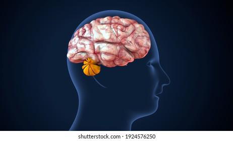3d render of human male brain nerves anatomy ytem