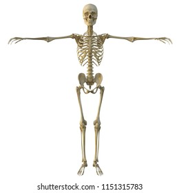 3d render of a human male skeleton isolated on white background