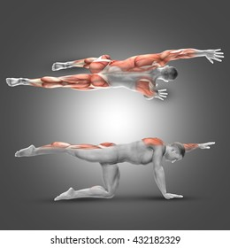 3D render of a male figure in alternate arm/leg raise pose with muscles used highlighted