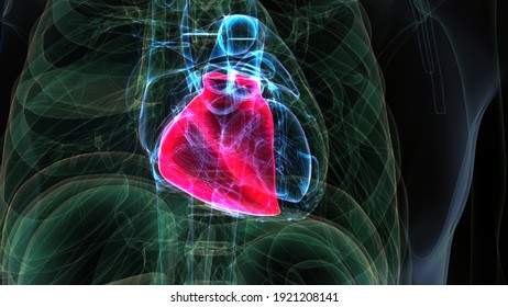 3d render of male human heart anatomy.