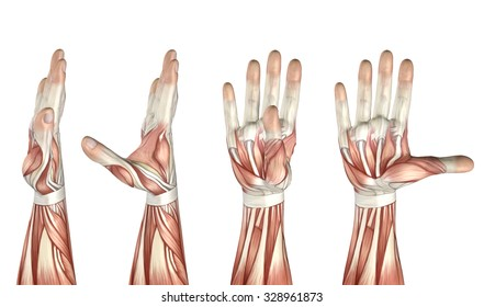 3D render of a medical figure showing thumb abduction, adduction, extension and flexion