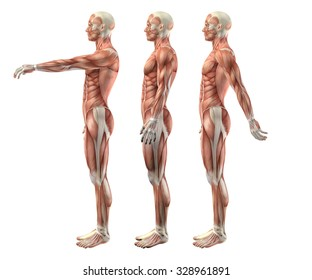 3D render of a medical figure showing shoulder flexion, extension and hyperextension