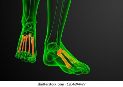 3d render medical illustration of the metatarsal bones - front view