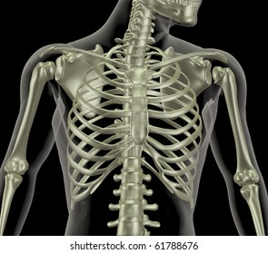 3D render of a skeleton showing close up of the rib cage