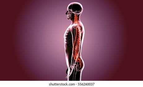 3d render of skeleton vertebrae anatomy