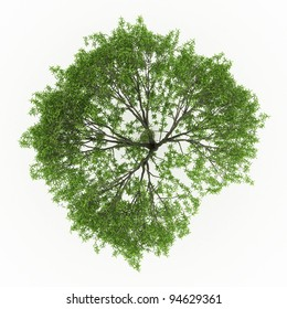 3d render Weeping willow isolated over white