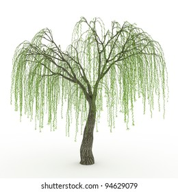 3d render Weeping willow in spring isolated over white