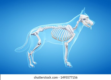 3d rendered anatomy illustration of the canine
