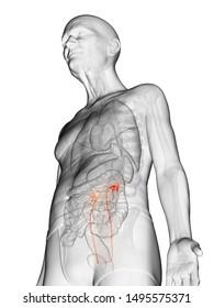 3d rendered anatomy illustration of an elderly mans ureters