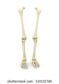 3d rendered human leg bone
