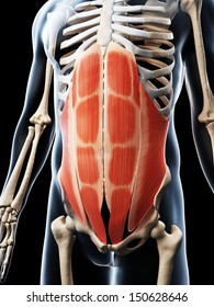 3d rendered illustration of the abdominal muscles