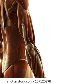 3d rendered illustration of the female arm muscles