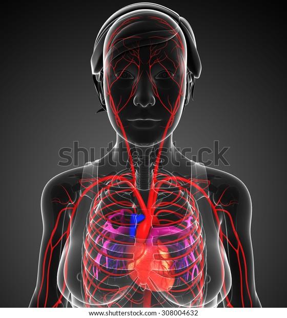 3d rendered illustration of female arterial system